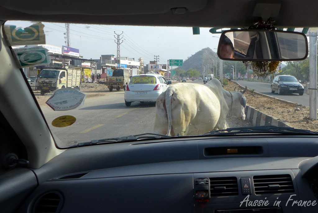 A sacred cow in the middle of the highway
