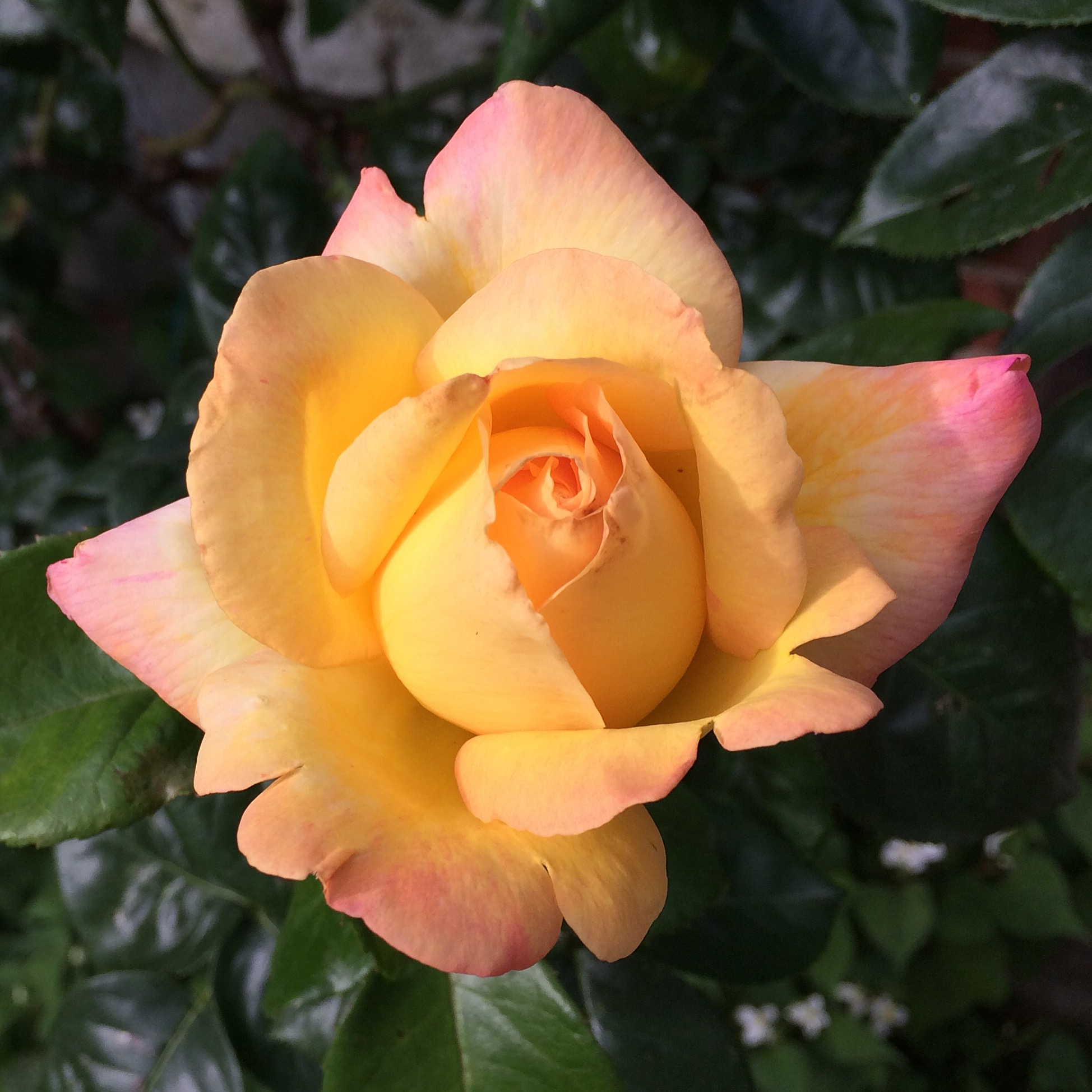 Our peace rose is giving us one bloom at a time, each as exquisite as the last