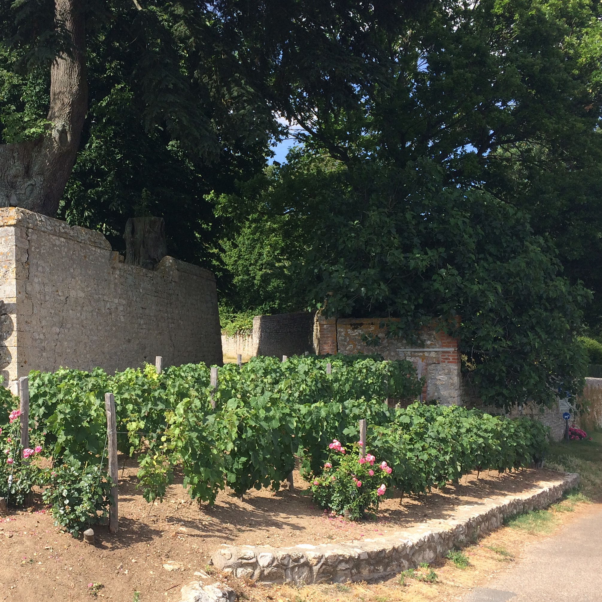 This is the little vineyard on the bike path from Blois to Cour-sur-Loire that I love