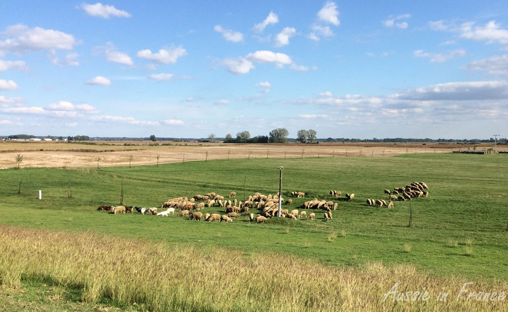 A flock of sheep alongside the levee