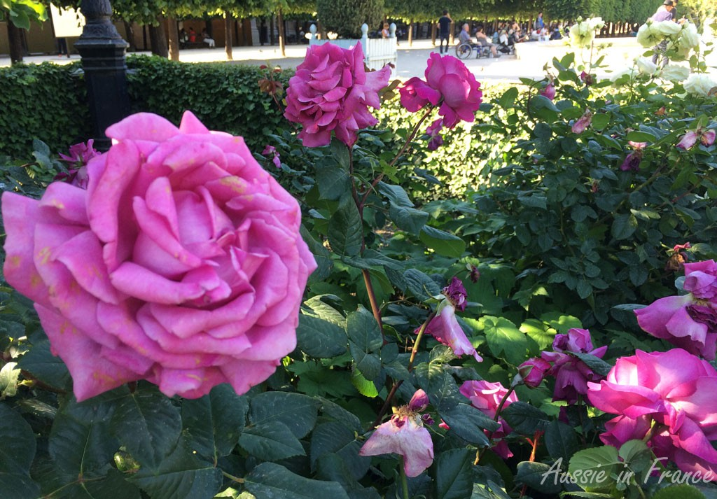 My favourite highly scented roses in the Palais Royal gardens