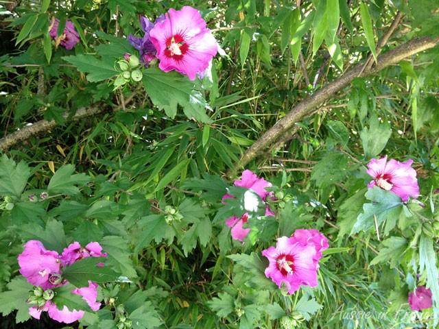 L'althéa est un arbuste.