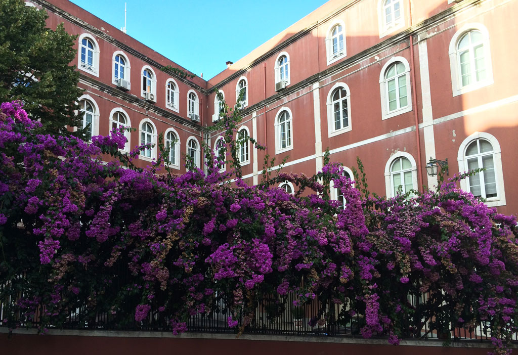 The bougainvillea is everywhere and reminds me of North Queensland where it blooms in winter