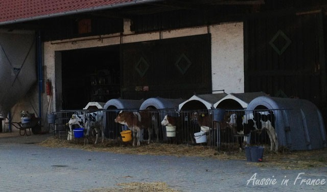 Calf kennels in Germany