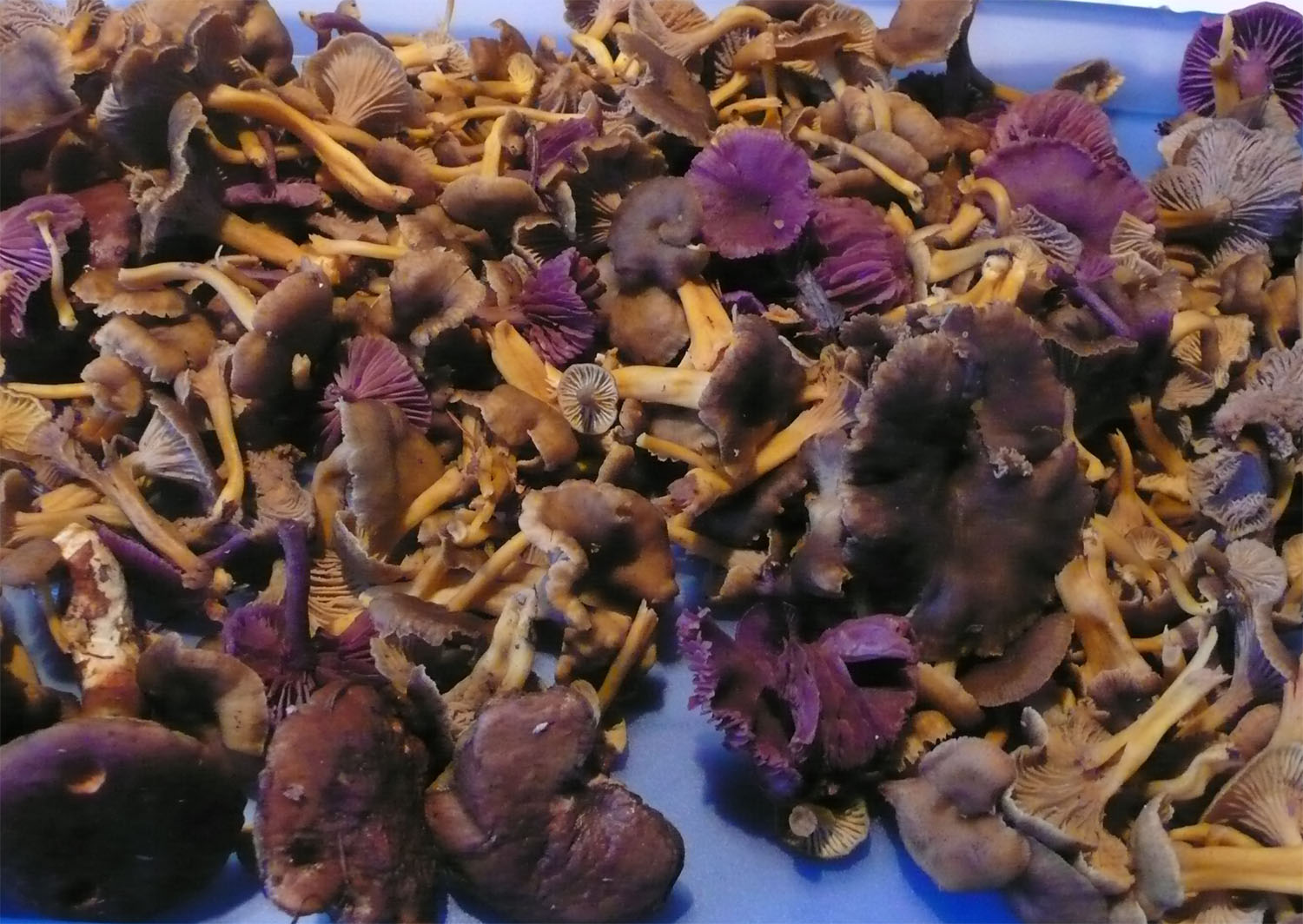 Chanterelles and amethysts found in the State forest