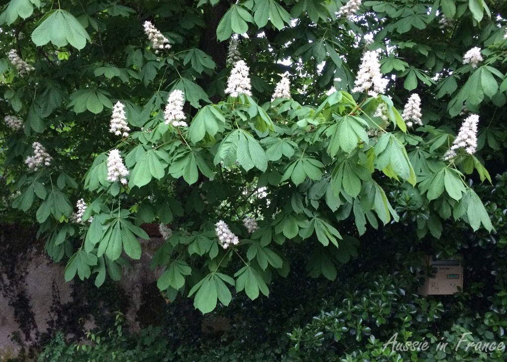 These are the flowers on the horse chestnut trees further along our street