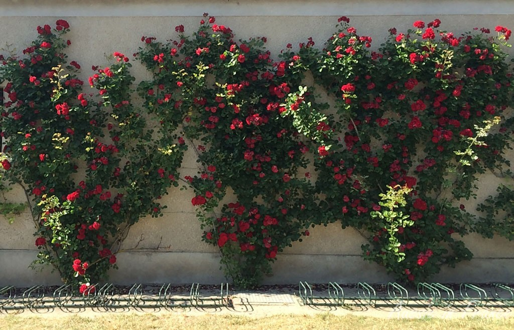 The wall of roses at château de Cheverny