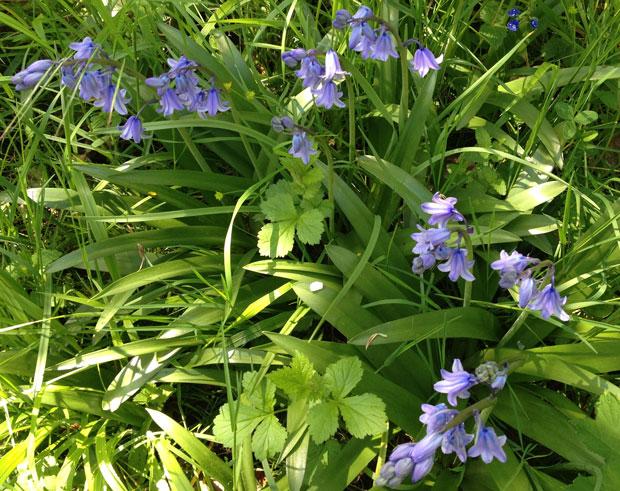 Bellflowers in my little wood in Blois