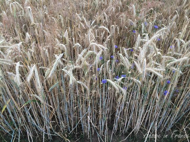 Cornflowers in a field of wheat, rye and barley