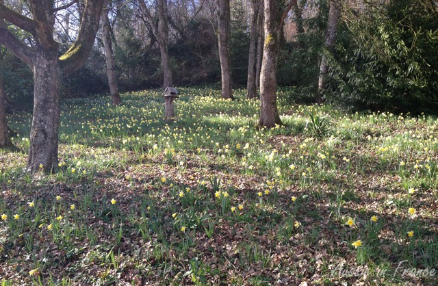 Our little wood full of daffodils