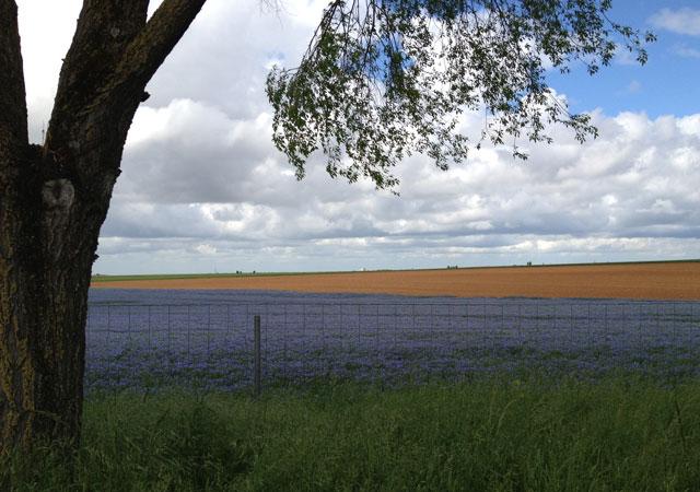 Linen flax near Niort