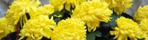 frenchchrysanthemums