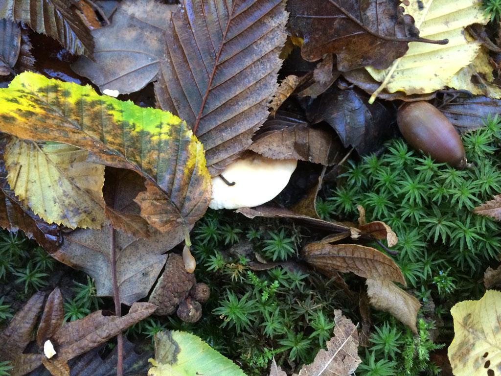 A hedgehog mushroom hidden under a leaf