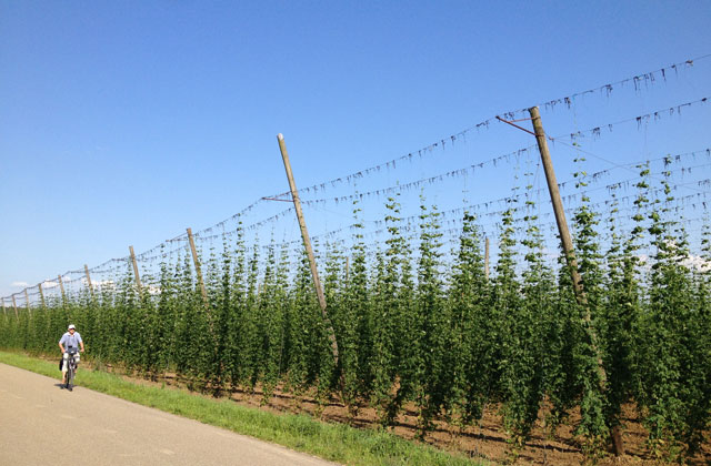 A field of hops