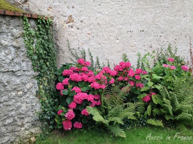 L'hortensia est un arbuste.