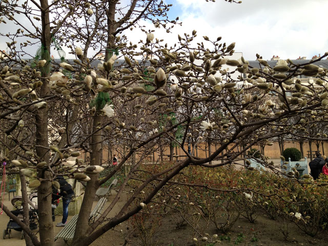 Magnolias starting to bloom in the Palais Royal gardens