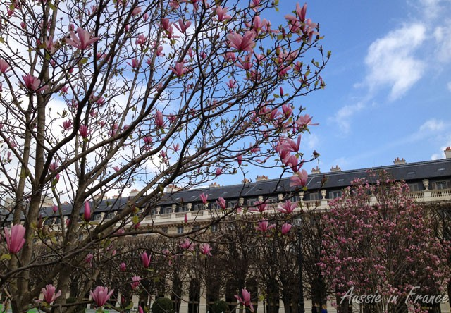 This is one of the magnolias in the Palais Royal Gardens, among the first flowers to bloom