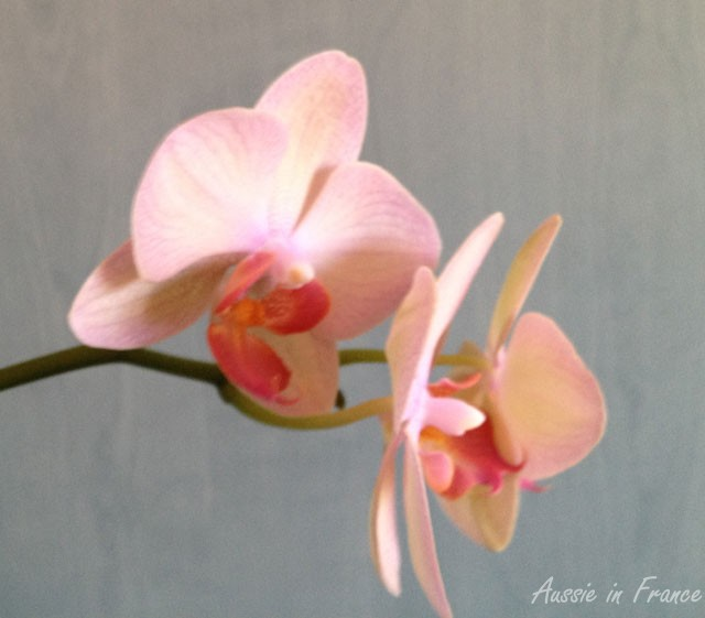 My latest reflowering moth orchid in Paris