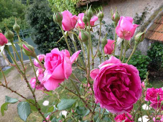 A close-up of our mystery rose which we were told was a Pierre Ronsard.