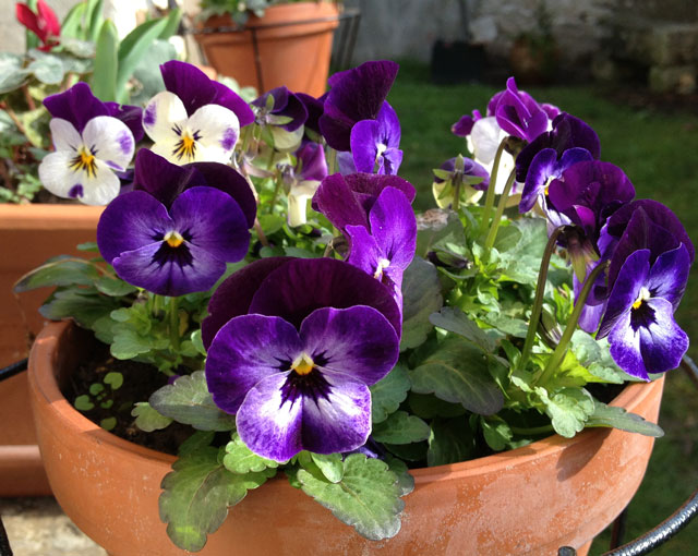 Hardy little pansies
