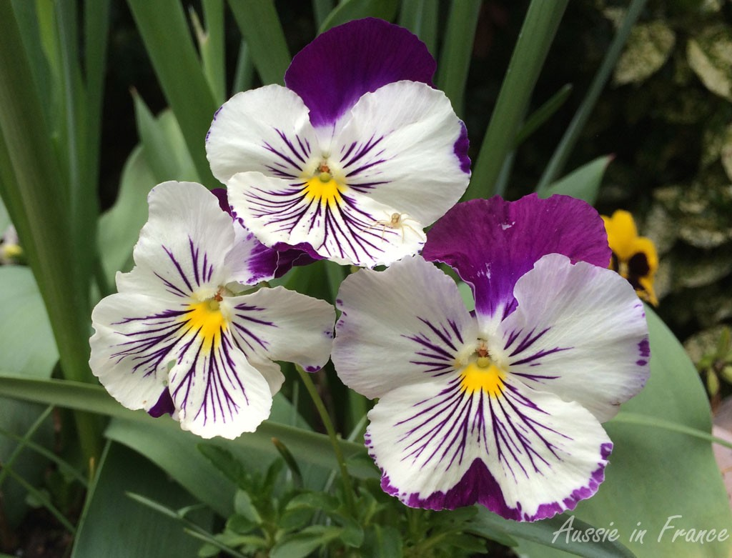 Pansies last right through winter and are stunning at the moment