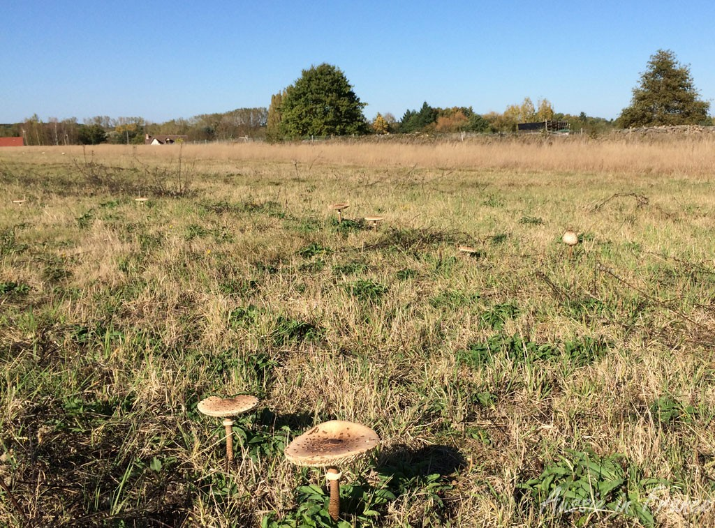 A field of parasol mushrooms