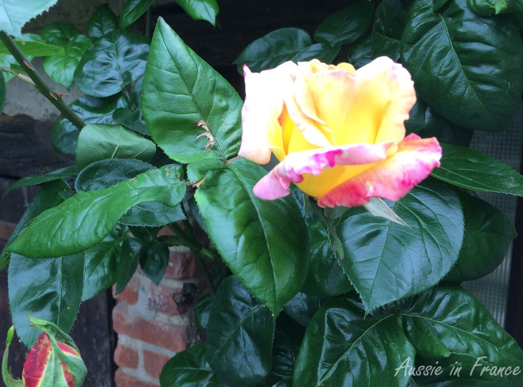 peace_rose
