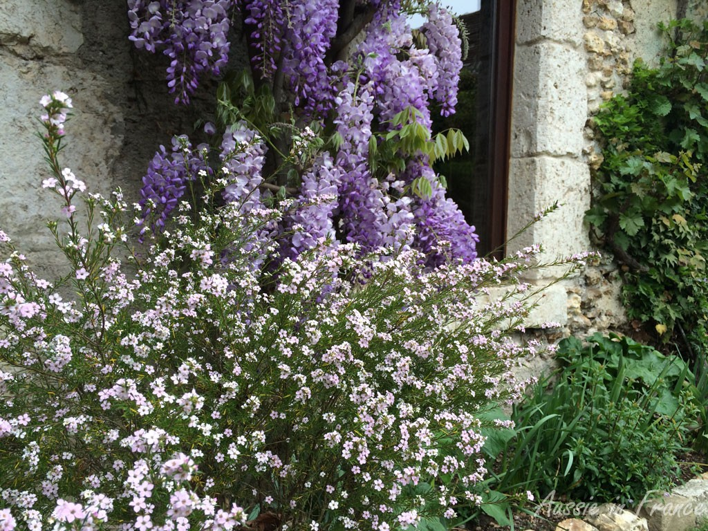 Our wisteria with diosma in front