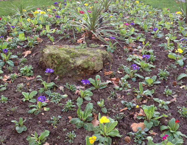 Newly planted primroses in Rue du Louvre
