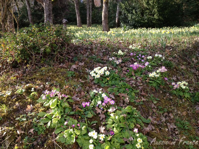 Primroses on the way up to our little wood