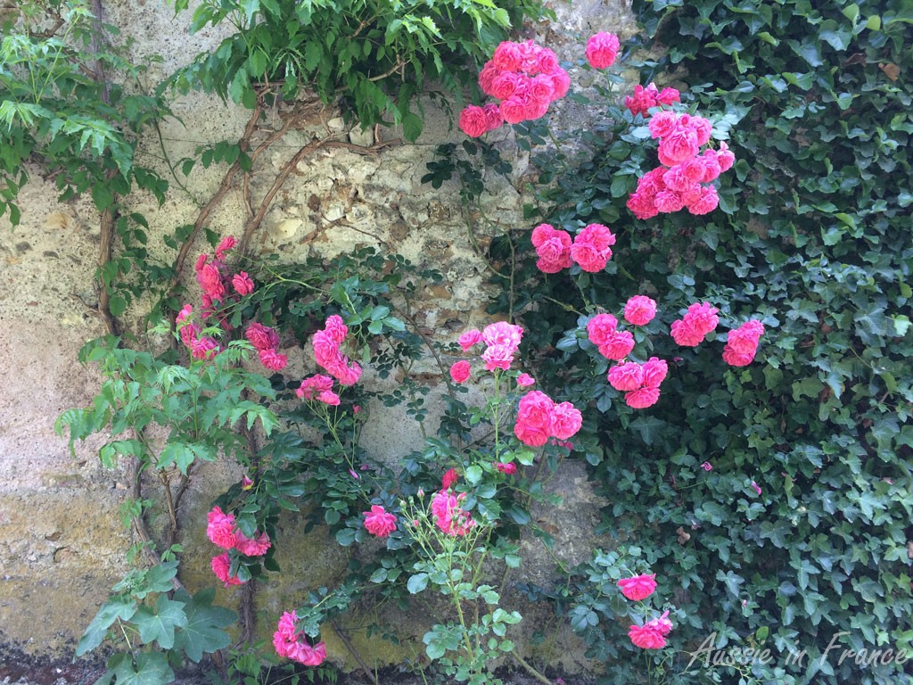 The Pierre Ronsard roses at the back of our house