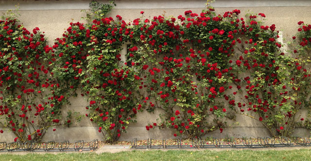 A wall of roses at Château de Cheverny on our bike route