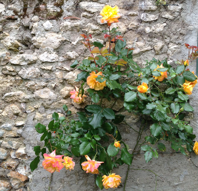 Our Saharan roses that disappointed us last year but are stunning this year