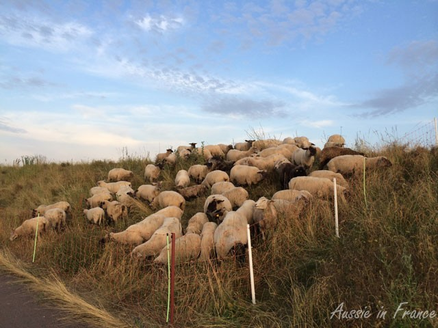 Sheep on the levee