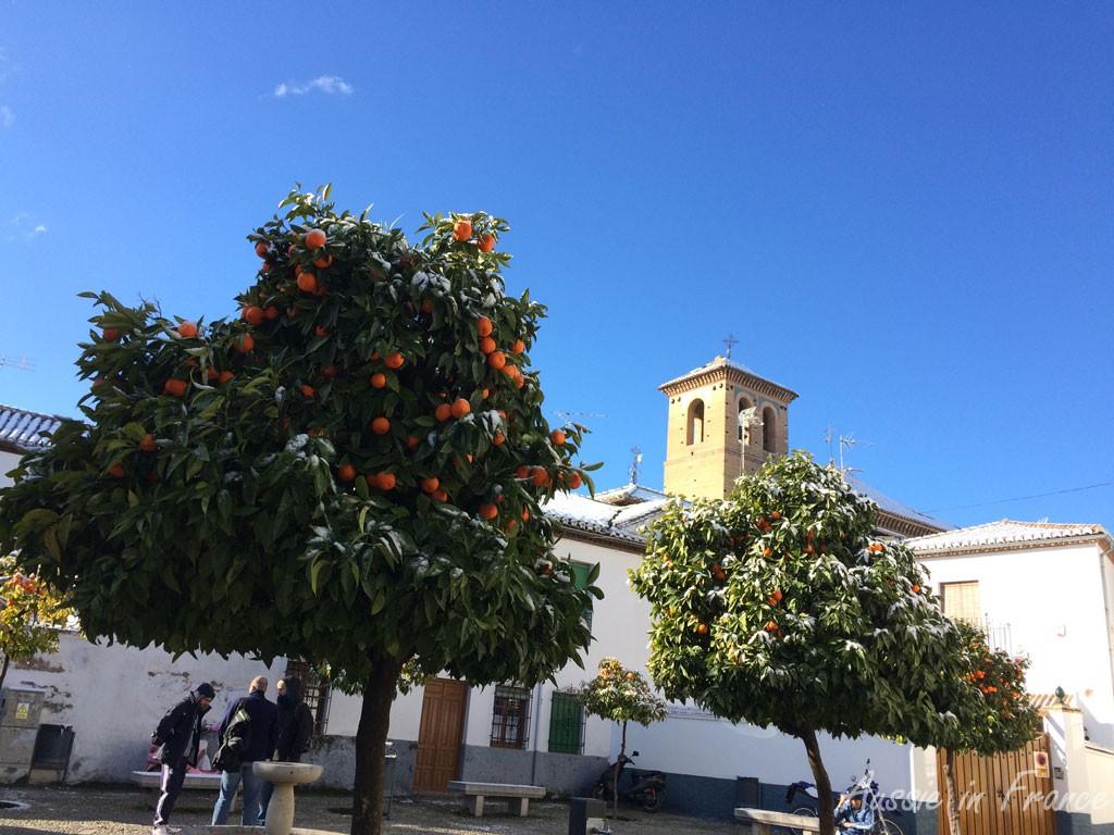 Snow on the orange trees