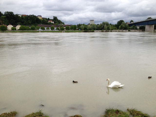 Swans on the Danube at Aschach am der Donau