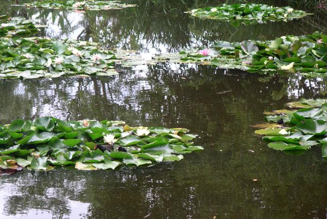 Nympheas in Monet's garden