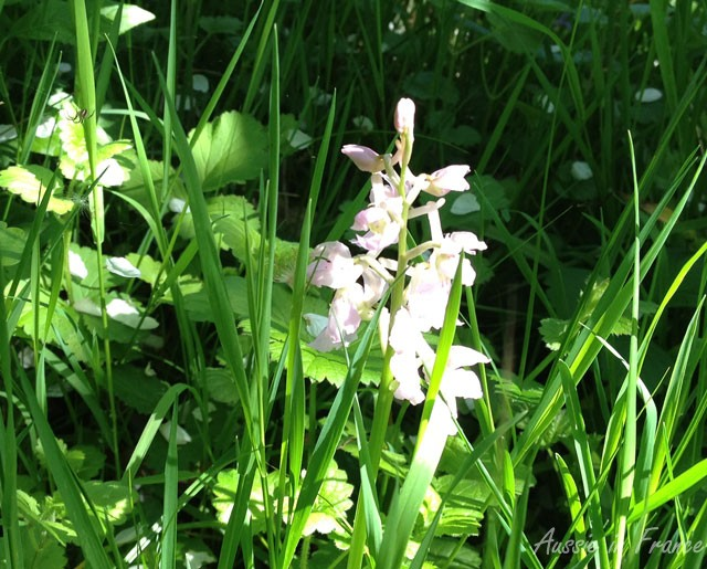 A white orchid in our wood