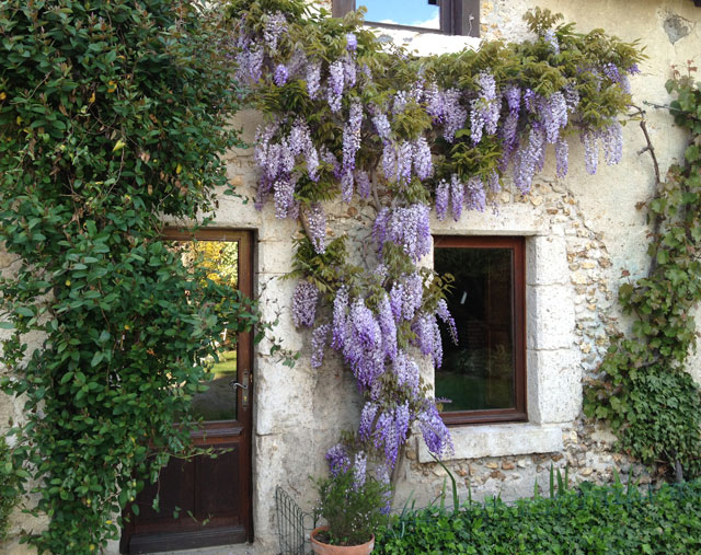 Wisteria on our house in Blois
