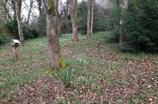 Our wood with crocuses and daffodils